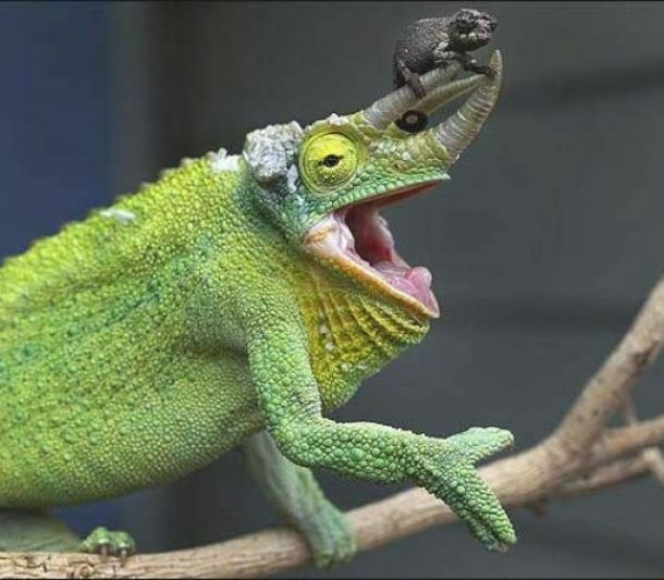 reptiles animal chameleon frog - photo #12