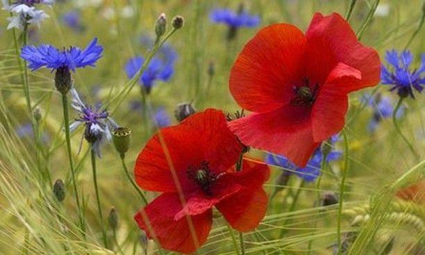 Leinwandbild Mohn Und Kornblumen Mohn Mohnblume Poppy Klatschmohn Blumenbild Blute Rot Leidenschaft Natur Lebenmitblume In 2020 Blumenbilder Mohnblume Blumen