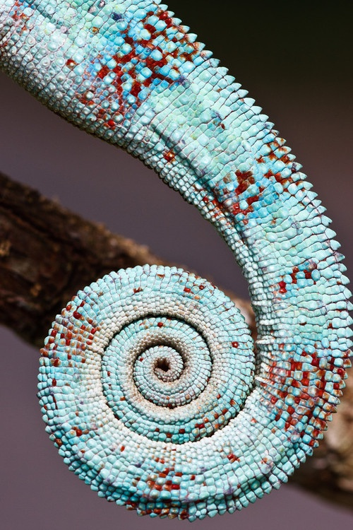Sacred geometry in nature, found in this amphibian tail.