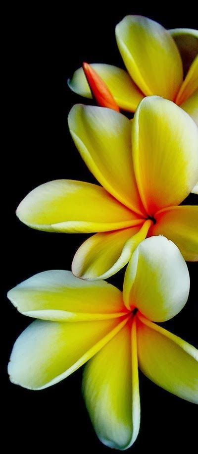 Plumeria.  wondernicephotos.blogspot.jp.  Frangipani flowers are known for their unique fragrant clusters of colorful, bright, waxy and long lasting flowers. Frangipani (Plumeria rubra), also known as the Hawaiin Lei flower, is native to warm tropical areas of the Pacific Islands, Caribbean, South America and Mexico. Frangipanis withstand subtropical climate.