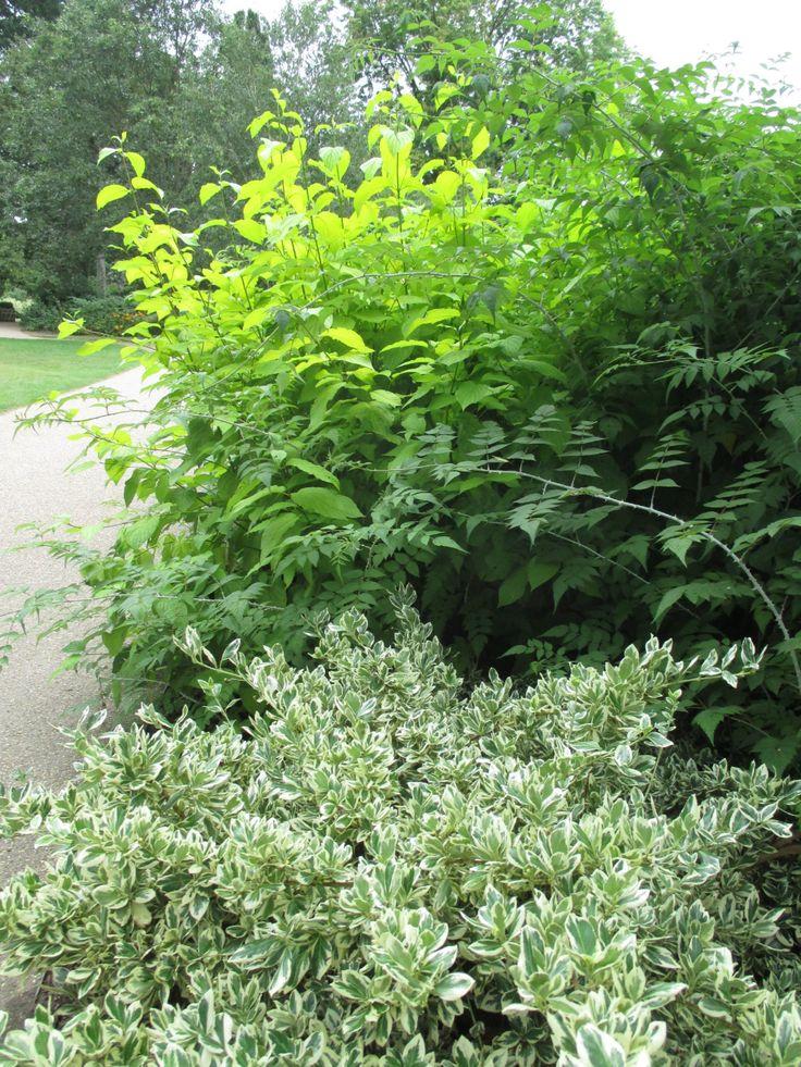 Euonymus Fortunei 'Harlequin' from Burncoose Nurseries in ...