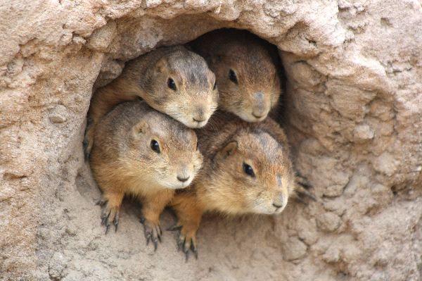 Prairie Dog | Prairie Dog - Animal Facts and Information