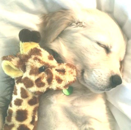 Adorable Little Baby Golden Retriever Puppy Sleeping With His