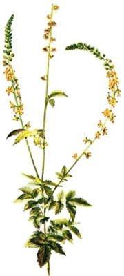AGRIMONY from Maria Treben Herbs