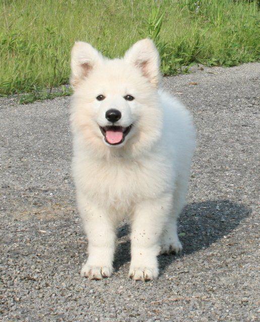 Berger blanc suisse #puppy