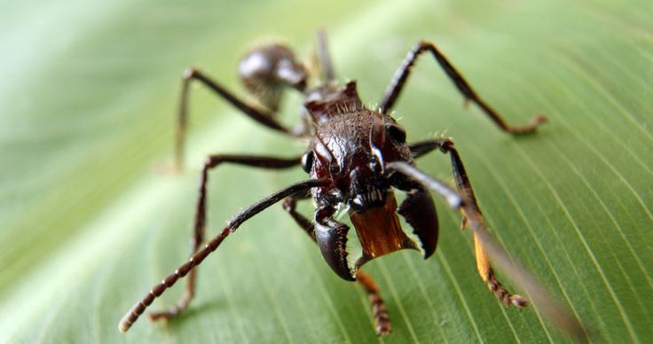 These bullet ants are much more than a pesky insect. It has a powerful and lethal sting. According to the Schmidt sting pain index, the bullet ant sting is even more painful than the tarantula hawk wasp. Not only in the sting insanely painful, it attacks the central nervous system and can cause paralysis! The bullet ant is found in humid lowland rainforests in parts of South America. Just one bite from the bullet ant could incapacitate a full grown man.