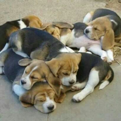 one day i want to have 10 beagles :-)