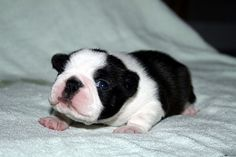 It's a baby Boston Terrier! How precious!!!!