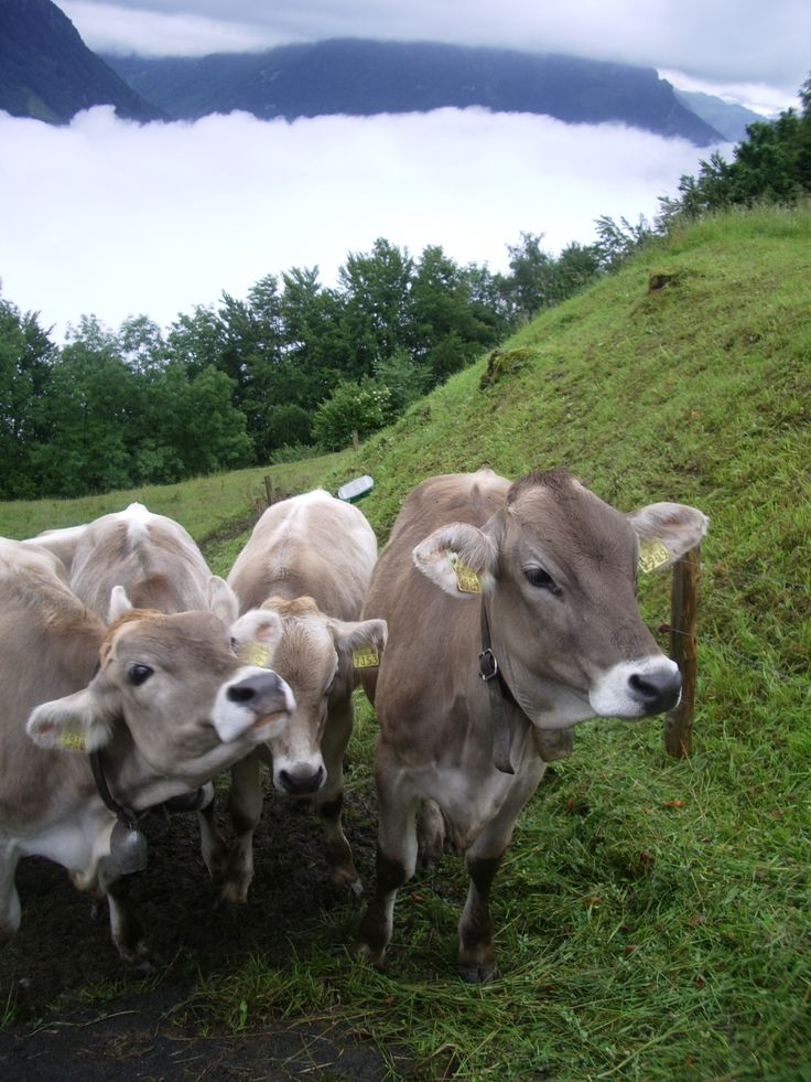 Actual Swiss Cows wearing cow bells near the hotel I stayed at in Lucerne, Switzerland