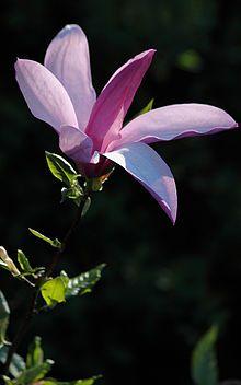 Aufblühende Purpur-Magnolie