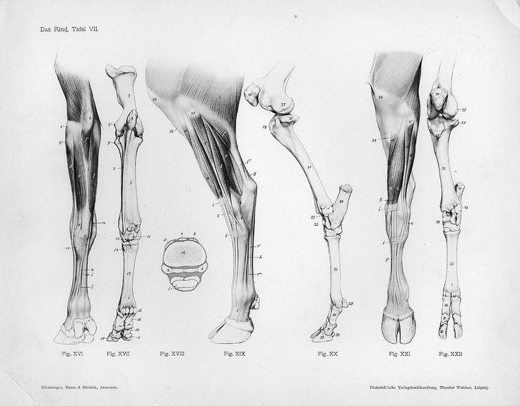 Horse Anatomy By Herman Dittrich Hind Legs: 32 Best Cows & Bulls Images On Pinterest