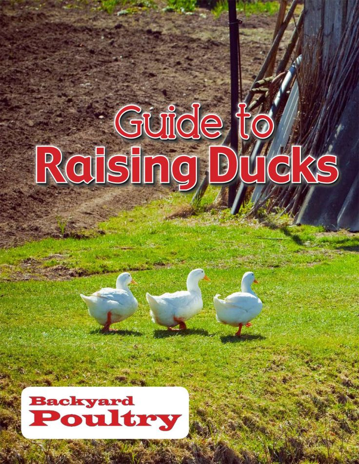 12 Best Images About Ducks Geese On Pinterest Seasons A Chicken And Raising