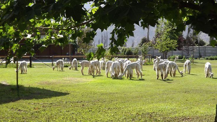 White group at Quintessence Alpacas