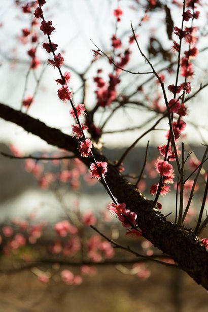炭焼き小屋の傍に一本だけ咲いている紅梅です。  かつて佐鳴湖の北岸に梅の木々が並んでいて 春を先...
