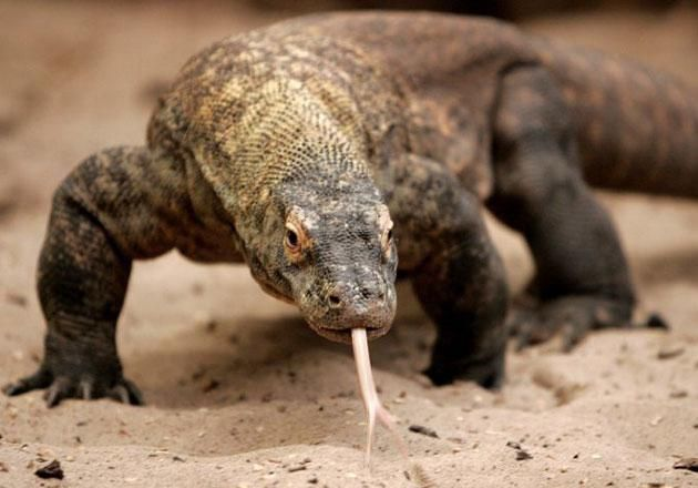 Pictures of Komodo Dragons