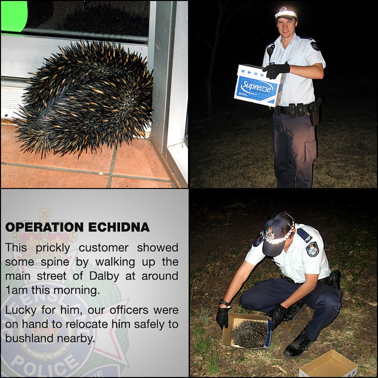 Operation Echidna: This prickly customer showed some spine by walking up the main street of Dalby at around 1am this morning. Lucky for him, our officers were on hand to relocate him safely to bushland nearby.