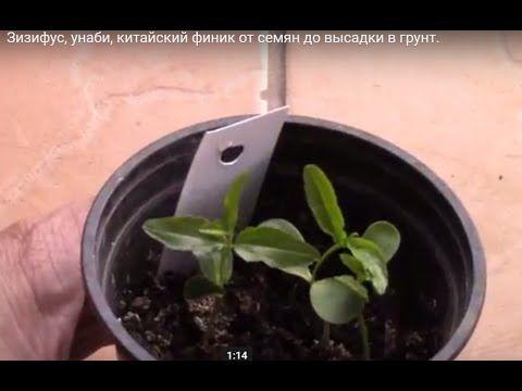 Зизифус, унаби, китайский финик от семян до высадки в грунт. - YouTube