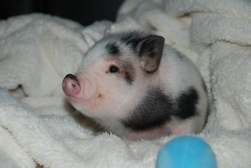 Eeeeek!  I have always wanted a pet pig!  Too cute!!