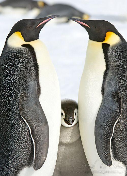 Penguin Ear Muffs. Photo by David C. Schultz