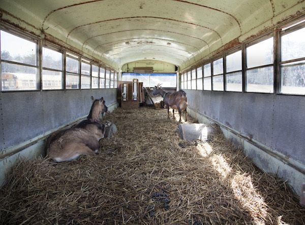 #goatvet likes this innovation - an old bus being used as a goat shed.  #goatvet likes the cross ventilation & deep bedding