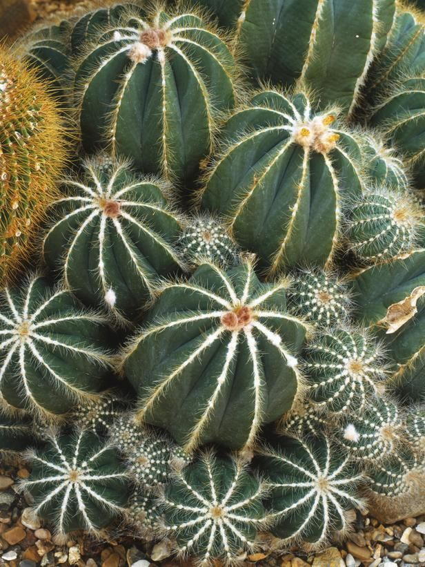 Parodia Magnifica Commonly Called Balloon Cactus - love the furry ridges