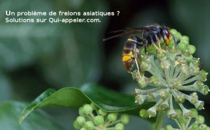 Comment signaler un nid de frelons asiatiques ?