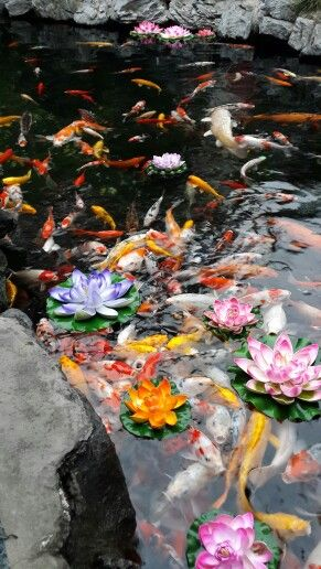 Koi is a symbol of love, wealth, n friendship