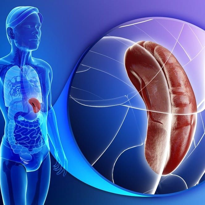 The spleen is the largest organ in the lymphatic system ...