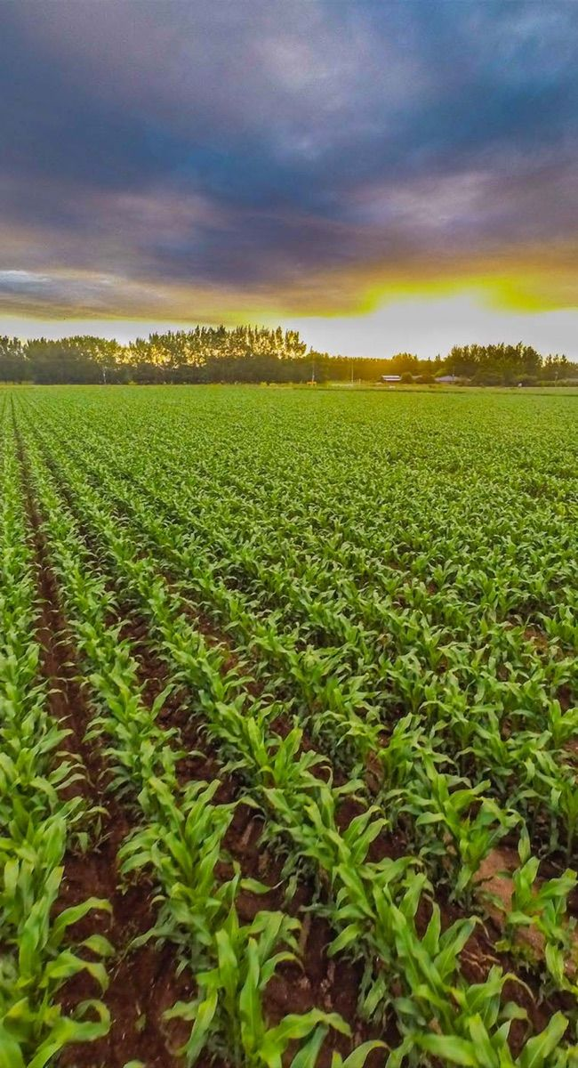 A paddock of new maize