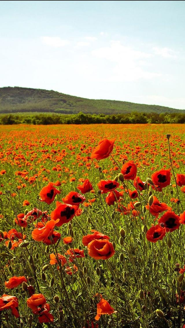 Summer in Ukraine--a field of poppies! So typical in the countryside!
