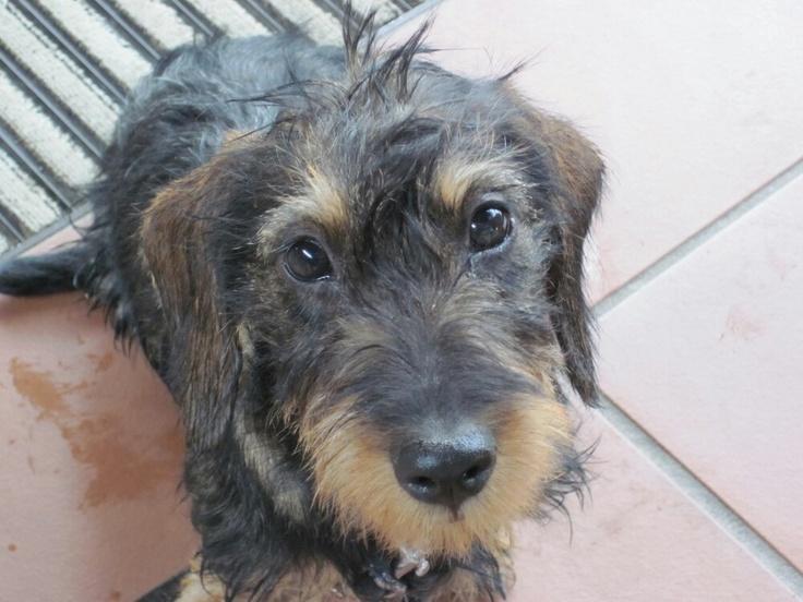 Daschund Show Dog Breeders