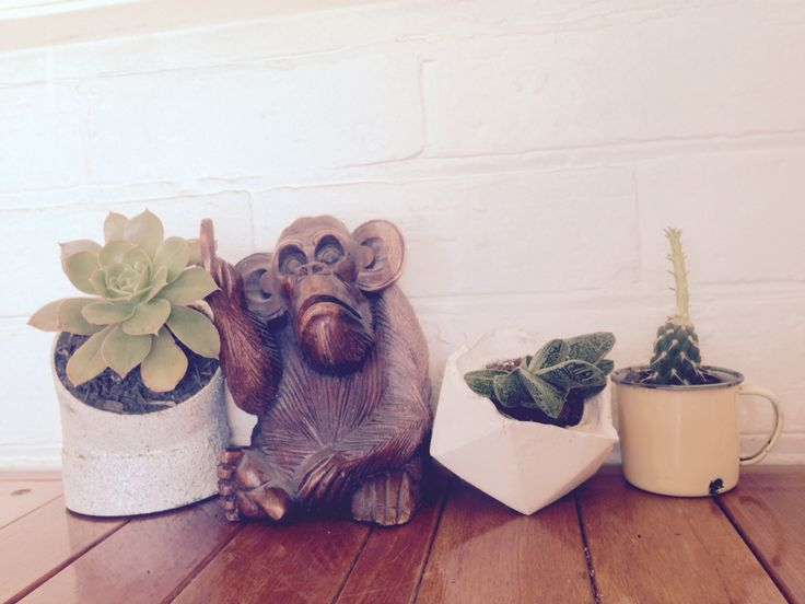 Cheeky monkey, chills out between succulents.   Bennett st collective