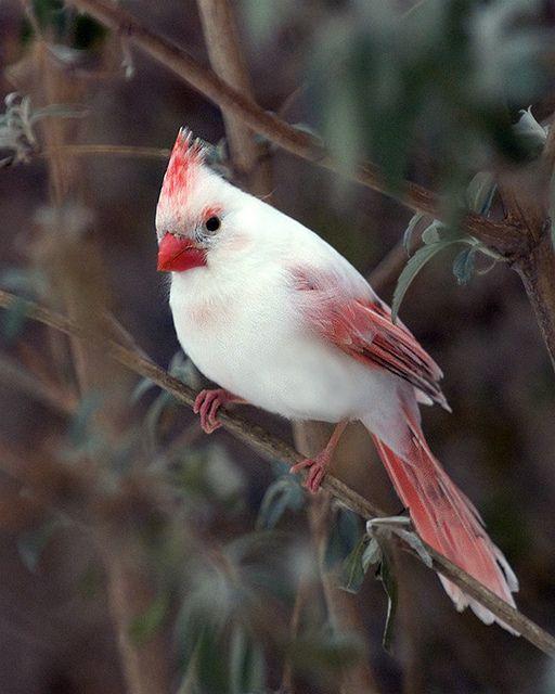 Albino (Piebald) Cardinal.