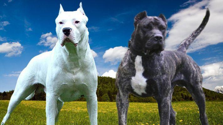Dogo Argentino Vs Presa Canario Bully Dog Dogo Argentino Canine