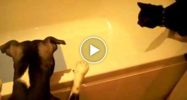Cão Dá Empurrãozinho De Encorajamento Ao Gato Para Entrar Na Banheira