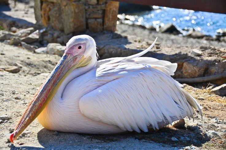 https://flic.kr/p/gnXVPc | Mykonos, Greece | Relative of Petros the pelican?