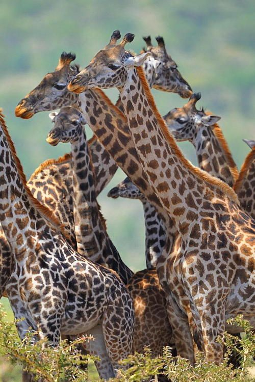 "DYK a group of Giraffes is called a ""tower""? Learn more about giraffes at http://www.awf.org/wildlife-conservation/giraffe"