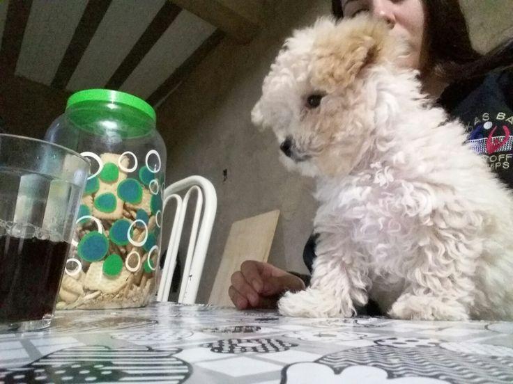 Líli filhote de cachorro poodle toy
