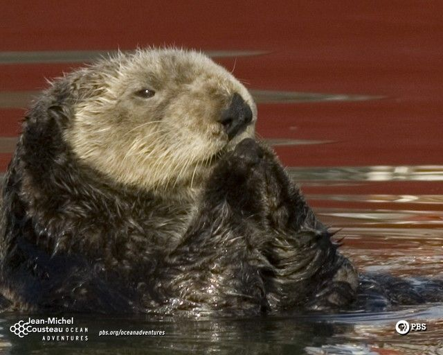 Sea Otter  Source⇨ http://www.pbs.org/kqed/oceanadventures/funandgames/wallpaper.html
