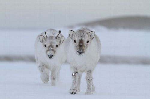 Baby Reindeer. Winter is awesome. - REYKJAVIK TRADING CO. JOURNAL