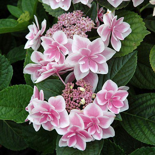 Hydrangea 'Star Gazer' | Hortensia 'Star Gazer' (finns vad jag vet ej i Sverige)
