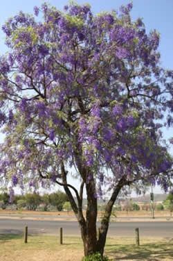 Bolusanthus speciosus (Tree wisteria) - tree wisteria is one of the most beautiful of South Africa's indigenous trees when in flower - it is a protected tree, meaning that removal, cutting or damaging of wild specimens is prohibited - Google Search