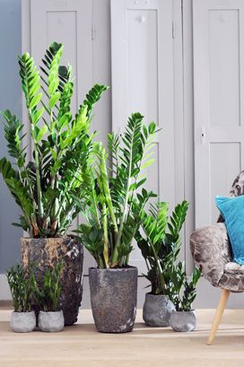 Bound To Be Your House Plant Success Zamioculcas Zz
