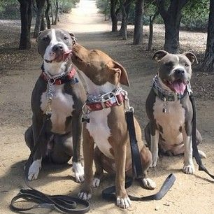 Just your typical violent and aggressive pit bulls ❤️ Photo by these mushes: @Janine Hardy Davic