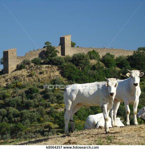 Chianina cows and Monticchiello in Tuscany