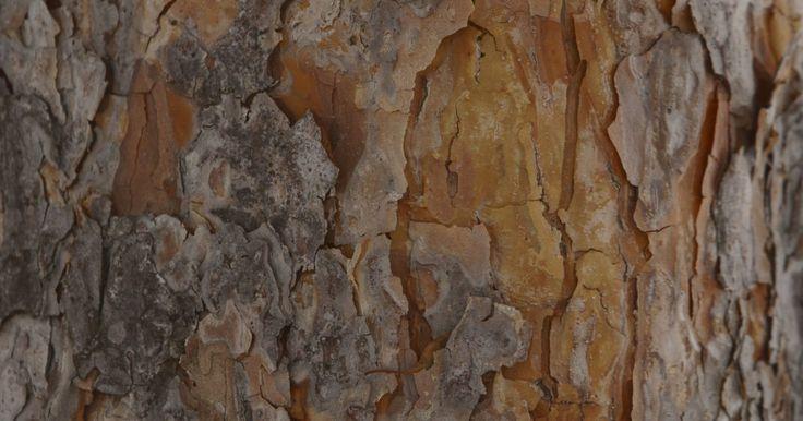 Cómo extraer la savia del pino. Los árboles de pino contienen una savia pegajosa que se puede extraer. A diferencia de la savia del arce que hace un jarabe delicioso, la savia de pino se vuelve muy dura y cáustica. No es comestible, pero puede convertirse en trementina, resina y agujas de pino. El proceso de extracción de savia de pino es muy parecido al de los árboles de arce.