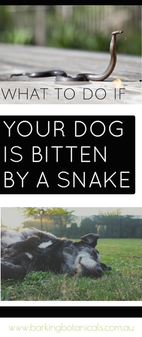 Tips on what to do if your dog is bitten by a snake, as well as signs of dog snake bite and what to look out for. There are also some tips for natural snake bite remedies.