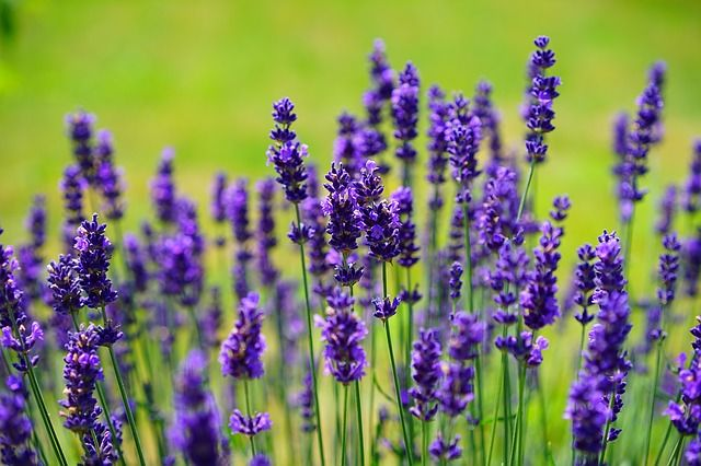 lavender - Charming and fragrant, these low mounding plants help repel mosquitos when planted around your yard in both the garden beds and planters. Stalks of versatile flowers appear in summer, and are excellent when cut and dried to add to lemonades- as well as in drawers and closets to keep clothes smelling fresh!