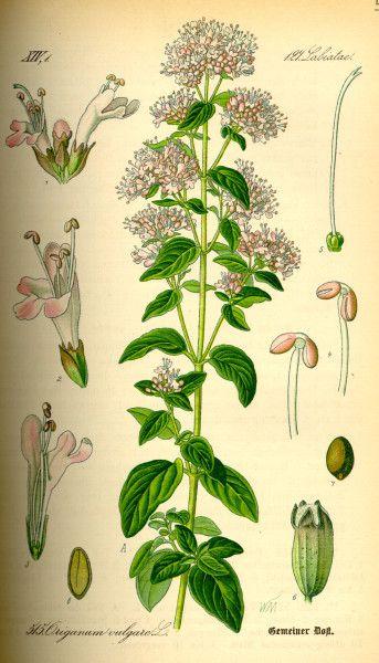 Dost ist nicht nur ein herrliches Würzkraut, sondern kann auch für die Gesundheit eingesetzt werden. Früher wurde er sogar für Heilbiere verwendet.