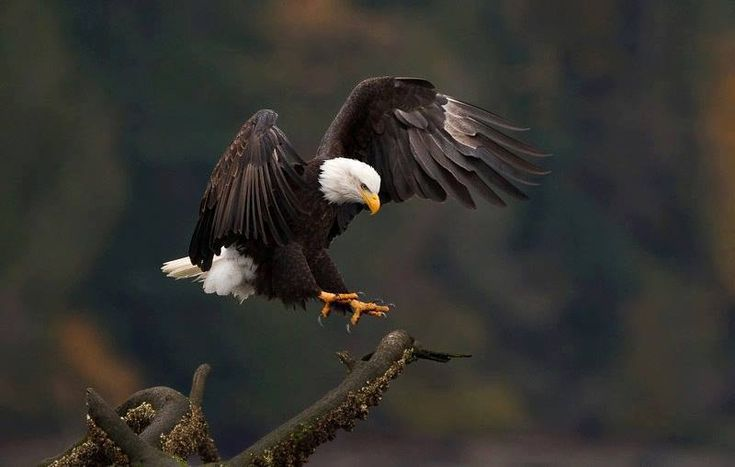fotos de águilas II ♥
